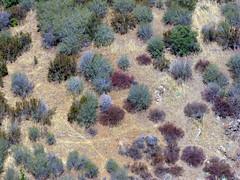 colorful bushes (Uncle Kick-Kick) Tags: california bush centralcoast sanluisobispocounty chaparral tassajaracreek
