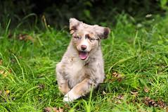 [フリー画像] [動物写真] [哺乳類] [イヌ科] [犬/イヌ] [子犬] [オーストラリアン・シェパード]     [フリー素材]
