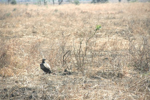 Martial Eagle attacking young Impala - 7 - Mikumi NP, Tanzania