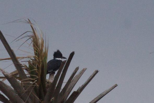 bird11_kingfisher