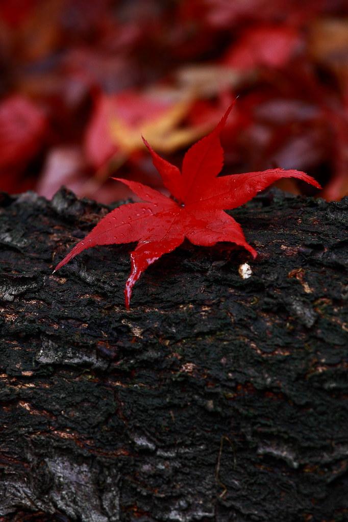 落下的紅楓