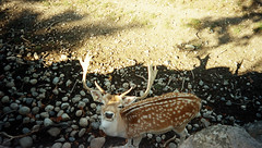 (Julie Corne) Tags: animal zoo deer daim parcdelattedor kodakadvantix