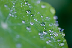 Nasturtium (lizzieerwood) Tags: macro dew waterdroplets nasturtium canon400d ef100mmmacrof28