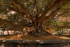 Huge Tree (ikesken) Tags: city tree nature argentina buenosaires recoleta barrio tr aa hugetree doa tonemapped arjantin ehir bykaa
