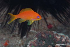 Anthias (genna S) Tags: ocean sea fish southafrica marine underwater wildlife indianocean invertebrates marinelife sodwana