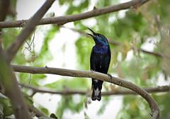 Purple sunbird.. (del's1) Tags: birds nikon dubai purple sunbird d7000