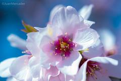 Radiante (juanmerkader) Tags: andalucía andalusia españa europe nikond750 photovida picture spain almendro flor flores flower flowers nikon pic picofftheday picoftheday primavera spring springtime aguadulce almería