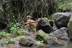 Weightlifting (Bob Hawley) Tags: longfongwaterfall zhongliaotownship nikond7100 nantoucounty nikon2870mmf3545afd asia taiwan outdoors nature forest trees dogs taiwantugou pets rocks water playing sticks