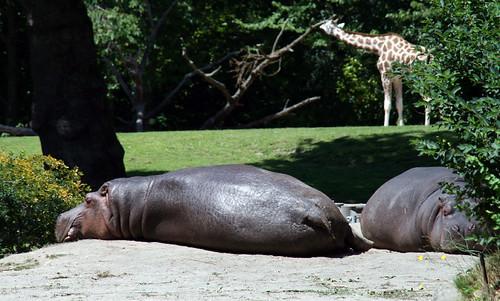 zoo hippos