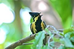 Yellow Tit (sandeep baraskar) Tags: flycatcher yellowtit yellowbreastedtit navegaonbirdsanctury
