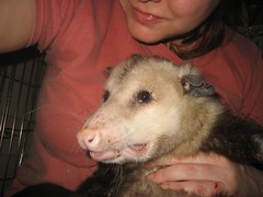Big old opossum and me (Mary Cummins) Tags: california wild possum rescue fish game animal losangeles opossum wildlife broker appraisal appraiser wildliferehabilitation animaladvocates marycummins marycumminscobb marycobb wildliferehabilitator animaladvocatesus marycumminscom marykcummins cumminsrealestateservices