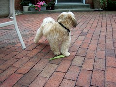 Chewie And The Corn Husk (k8southern) Tags: chewie