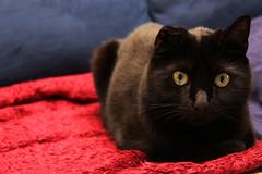 2009_07_18_3813 (BrainPie) Tags: family boy cats pets black male love animals cat furry feline kitty otto kitties felines panther crinkleear ottobahn