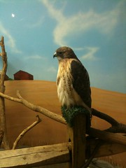 Red tail hawk at Boonshoft Museum in Dayton