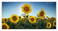 Competing Sunflowers (Vincent_AF) Tags: sun flower green yellow backlight widescreen bees vincent sunny insects bee sunflower backlit leafs flickrphoto flickrimage flickraward flickrbestpics flickrphotography nikonflickraward grouptripod colorsofthesoul vincentvanderpas archetypefotografie
