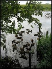 dana hilliot - duck