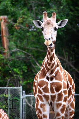. giraffe .