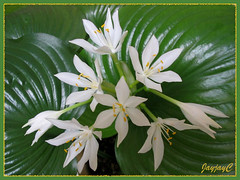 White flowers of Proiphys amboinensis (Cardwell Lily, Northern Christmas Lily) in our garden, April 21 2009