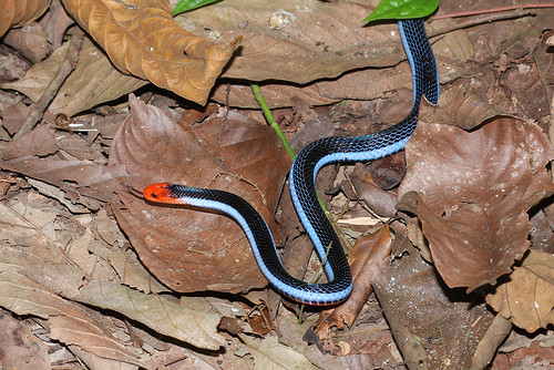 Malayan Long-glanded Coral Snake