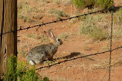 Ferocious Beast (zoniedude1) Tags: arizona southwest rabbit bunny nature fence mammal all wildlife  rights barbedwire beast reserved ferocious lagomorph desertcottontail sylvilagusaudubonii apachecounty zoniedude1 earthcreatures smallfurrycritter caononpowershota720is