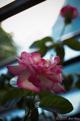 2 Rosas (Uriel Akira) Tags: flores window rose mexico ventana flor rosa tabasco macuspana nikond40 urielakira