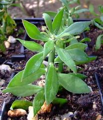 Pereskiopsis spathulata (Süleyman (Deceased 04.2012)) Tags: pereskiopsis pereskiopsisspathulata