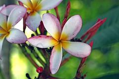 Southern backyard , the true story (xeno(x)) Tags: flowers white macro green art nature water canon garden backyard asia tears explore waterdrops 2009 xeno overtheexcellence excapturemacro 5d2
