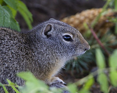 Uinta Ground Squirrel (Dah Professor) Tags: kh0831 tetons wyoming yellowstone animalportrait