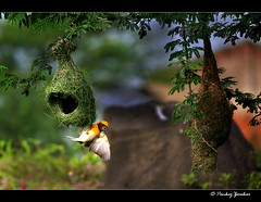 [Explored...to Frontpage] Hey babe come here... my nest is greener... (Pankaj  Unlimited (pankajz.com)) Tags: travel trek explore frontpage pune weaverbird naturesfinest baya bhor pankajunlimited malebaya