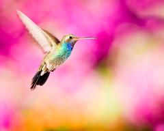 "Hummingbird  ""Bokeh"" (Alfredo11) Tags: naturaleza motion bird nature colors mexico fly hummingbird searchthebest bokeh flash colores movimiento ave alfredo pajaro vuelo colibri volar picaflor nikonsb600 nikonsb800 pocketwizard nikoncreativelightingsystem strobist nikon80400mm nikond3 nikonsb900 elinchromlite2"