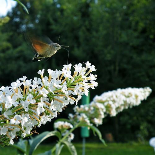 Hummingbird Hakwmoth