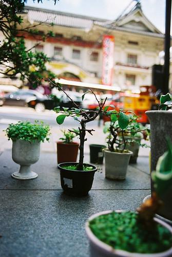 kabukiza*bonsai plant