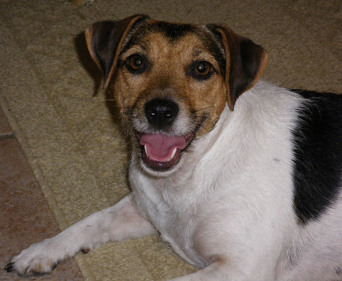 Abby the Smilin' Jack Russell!