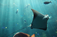 I want to hold your hand (orangetuwie) Tags: blue light fish beach smile aquarium long tank pacific stingray thebeatles nefarious iwanttoholdyourhand