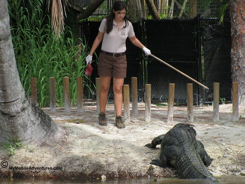 IMG_2100-Naples-Florida-zoo-gator-feeding-time