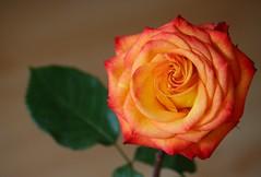 Nochmal die Rose