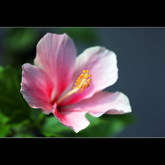 Happy Birthday, DulichVietnam360! (JannaPham) Tags: life birthday morning pink flower macro green dedication canon garden happy eos golden spring pretty friendship bokeh happiness hibiscus thai 5d tran hoa markii project365 116365 jannapham dulichvietnam360
