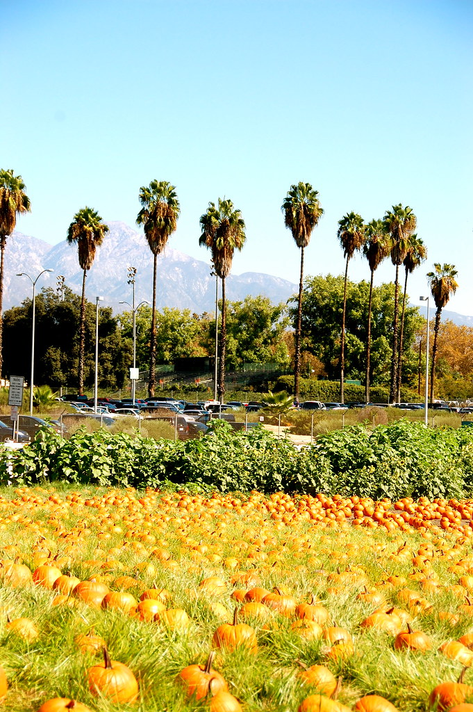 pumpkins and palm trees
