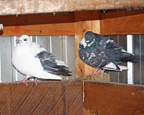 New Pigeons