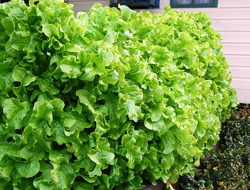 Lettuce hedge