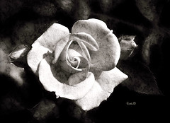 Apologia del monocromo (in eva vae) Tags: old blackandwhite bw flower macro art monochrome rose eva bud elogio textured apologia praid inevavae