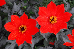 Red Out of the Black at Great Comp Garden!