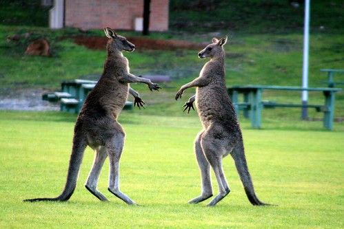 Australian fighting kangaroos are similar to Wendy's ice cream franchisees in Australia