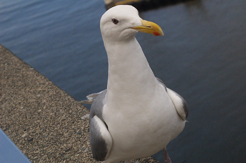 13-06-2008_seagull_posing_rs