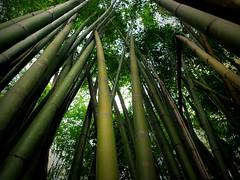 The mystery of Bamboo blossom... (Bn) Tags: art paper topf50 bamboo medicine houseconstruction textiles laos bambooshoots poaceae topf200 bambu bambou musicalinstruments tms dendrocalamusgiganteus bambooforest buildingmaterials bamboe gramineae pakse t