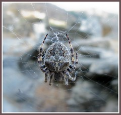 A spider in Andros island (n.pantazis) Tags: net spider depthoffield canonpowershota720is korthi