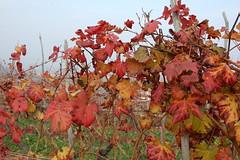 Autumn in La Morra_9425 ( massimo ankor) Tags: autumn italy europe wine piemonte autunno vino barolo lamorra langhe piemont viti