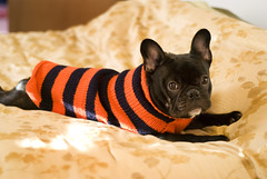Ozzy The Rugby Caterpillar (Lainey1) Tags: dog puppy sweater nikon funny rugby stripes humor caterpillar frenchie frenchbulldog pup dogsweater rugbyplayer d80 nikond80