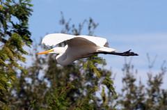 In Flight Great White! (kathleenjacksonphotography) Tags: bird nature inflight florida birdinflight greatwhiteheroninflight