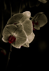 A coupla orchids in sepia (alan shapiro photography) Tags: red orchid flower monochrome sepia dark mono shadows orchids ikebana drama alanshapiro hintofcolor momentsoftruth ashapiro515 alanshapiroashapiro515 2010alanshapiro alanshapirophotography wwwalanwshapiroblogspotcom 2010alanshapirophotography
